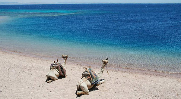 Camels at the Red Sea shore, Ras Abu Gallum camel trip